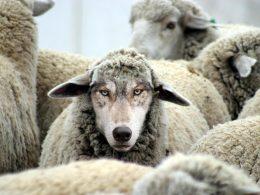 lup in blana de oaie - imagine preluata de pe http://networkmarketinglabs.com/ethan-vanderbuilt-wolf-sheeps-clothing/